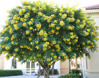 Baobab trees rainbow eucalyptus gumbo limbo trees foxy lady palms produces showy yellow flowers in the fall and winter a gorgeous showy small tree excellent for use in parkways mightylinksfo